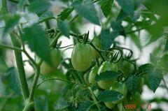 水耕栽培アイコの実。クリックして大きくしてくださいね。r1