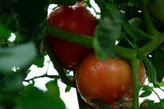 大玉トマト、おどりこ。クリックして大きくしてくださいね。r1