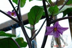 黒秀ナスの花。クリックして大きくしてくださいね。r1
