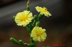 チマサンチュの花。クリックして大きくしてくださいね。r1