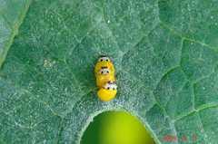 黄色テントウムシ。クリックして大きくしてくださいね。r1