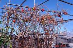 水耕栽培ミニトマト、アイコ撤収。クリックして大きくしてくださいね。r1