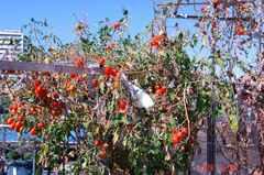 水耕栽培ミニトマト、アイココまだまだ頑張っています。クリックして大きくしてくださいね。r1