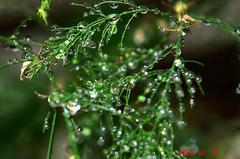 アスパラガスに雨粒。クリックして大きくしてくださいね。r1