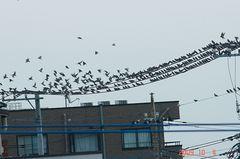 ムクドリの大群、一斉に飛立ちます。クリックして大きくしてくださいね。r1