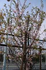 冬桜。クリックして大きくしてくださいね。t200