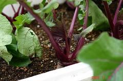 紅苔菜。クリックして大きくしてくださいね。r1