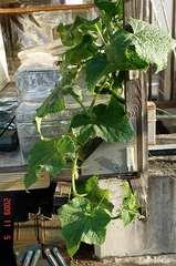 水耕栽培きゅうり。クリックして大きくしてくださいね。r1