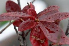 ブルーベリーも紅葉。クリックすると大きくなります。R1