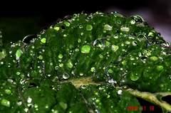 菜花の葉っぱに水滴。クリックすると大きくなります。R1