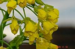 菜花開花。クリックすると大きくなります。R1