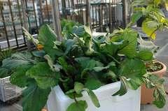 紅苔菜。クリックすると大きくなります。R1