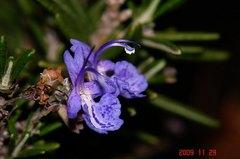 ローズマリーの花。クリックすると大きくなります。R1