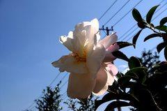 白い花の山茶花。クリックして大きくしてくださいね。r1