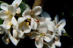 柊木犀の白い花。クリックして大きくしてくださいね。r1