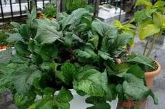 紅苔菜。クリックすると大きくなりますR1。