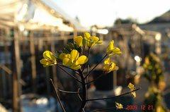 紅苔菜の菜花。クリックすると大きくなりますR1。