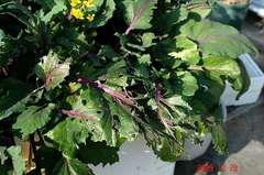 紅苔菜が・・・。クリックすると大きくなりますR1。
