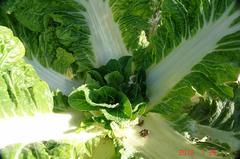 ミニ白菜の脇芽。クリックすると大きくなりますR1。 vspace=