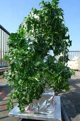 底面給水型コンポストタワーに育つ京菜。クリックすると大きくなりますR1。