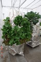 底面給水型コンポストタワーに育つサラダ菜とサニーレタス。クリックすると大きくなりますR1。