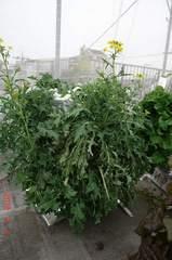 底面給水型コンポストタワーに育つ第2弾の京菜に花芽が・・・。クリックすると大きくなりますR1。