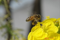 ブンブンブン蜂が飛ぶ。クリックすると大きくなりますR1。