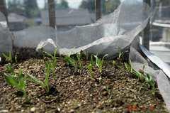 空芯菜が発芽。クリックすると大きくなりますR1。