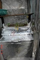 今年も水耕栽培のアイコです。クリックすると大きくなりますR1。