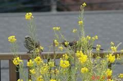 菜の花を啄ばむヒヨドリ。クリックすると大きくなりますR1。