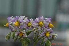 メークインの花。クリックすると大きくなりますR1。