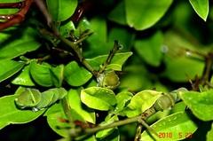 ナミアゲハの5齢幼虫が3匹になってました。クリックすると大きくなりますR1。