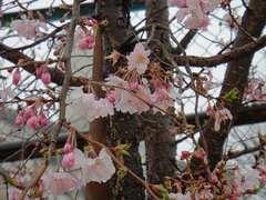 冬桜も花盛り。クリックすると大きくなりますtx7。