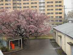 大きな桜の古木です。クリックすると大きくなりますtx7。