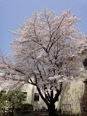 桜が満開。クリックすると大きくなりますtx7。
