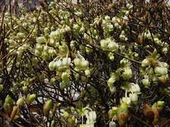 咲き出したドウダンツツジ。クリックすると大きくなりますtx7。