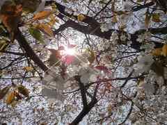 晴れの日の桜。クリックすると大きくなりますtx7。