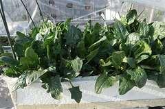 収穫せねば、サラダほうれん草