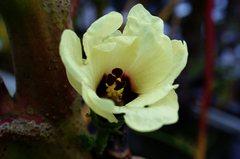 ちょっと変なオクラの花。クリックすると大きくなりますα55。