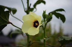 こちらはいつものオクラの花。クリックすると大きくなりますα55。