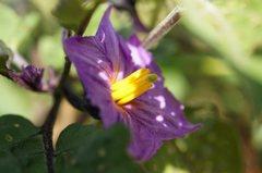 マクロ撮影が楽しい、黒秀ナス紫彩の花