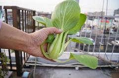 虫食いなしの綺麗なチンゲン菜を収穫。クリックすると大きくなりますα55。