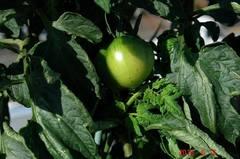 大玉トマトおどりこ、一番実。クリックすると大きくなりますR1。