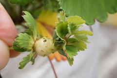 イチゴの花のブルヘッドその後です。クリックすると大きくなりますα55。