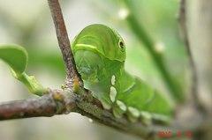 再び現れたナミアゲハの幼虫。クリックすると大きくなりますR1。