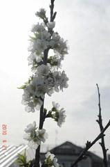 鉢植え佐藤錦が満開