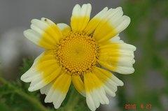 春菊の花。クリックすると大きくなりますR1。