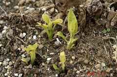 エンジェルズトランペット、無事に越冬して発芽です。クリックすると大きくなりますR1。
