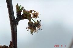 受粉できなかった佐藤錦の花のあと。クリックすると大きくなりますR1。
