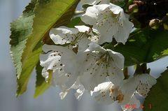 これが最後の佐藤錦の花たち。クリックすると大きくなりますR1。